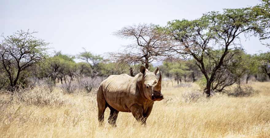Nashorn im Krüger Nationalpark in Südafrika