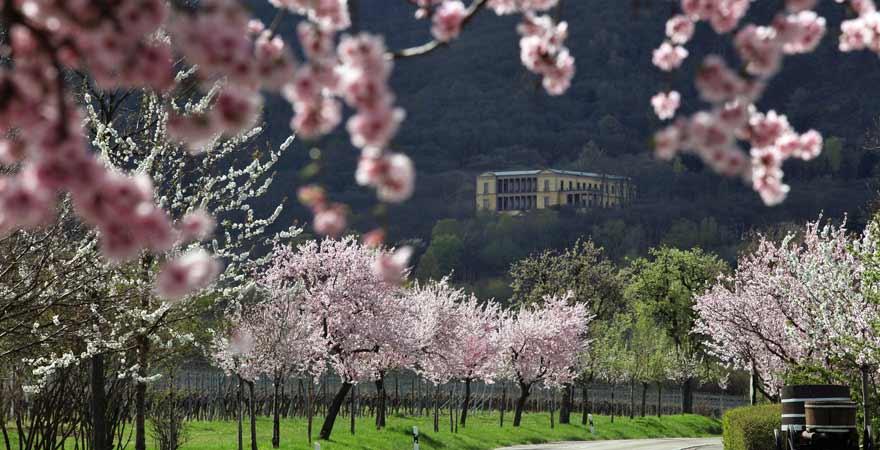 Mandelblüte an der Villa Ludwigshöhe an der Südlichen Weinstraße in der Pfalz