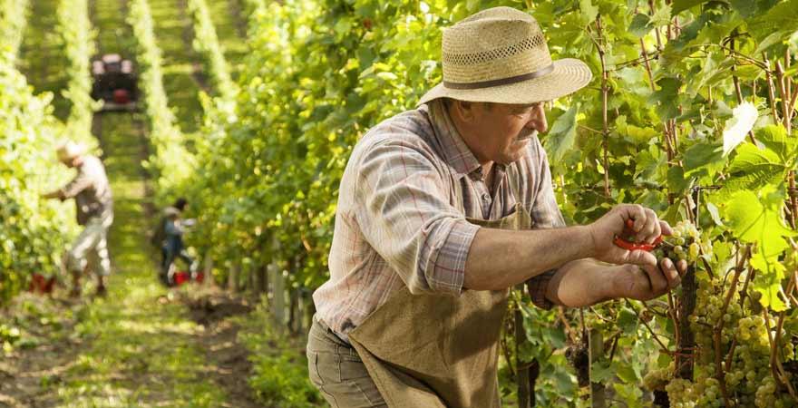 Mann bei der Weinlese