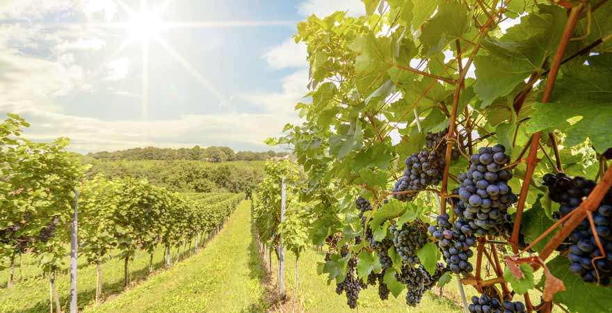 Rote Weintrauben an einem Weinberg