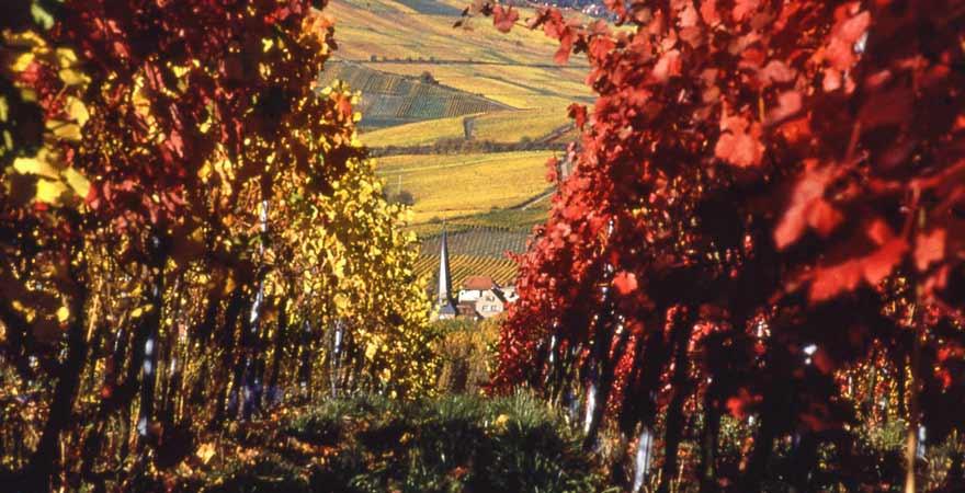 Weinberge im Herbst an der Südlichen Weinstraße in der Pfalz