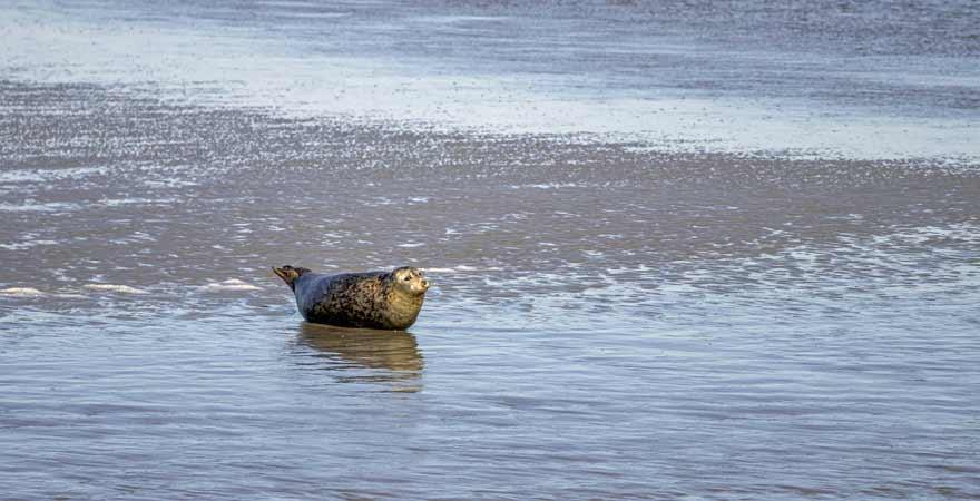 Robbe im Wattenmeer