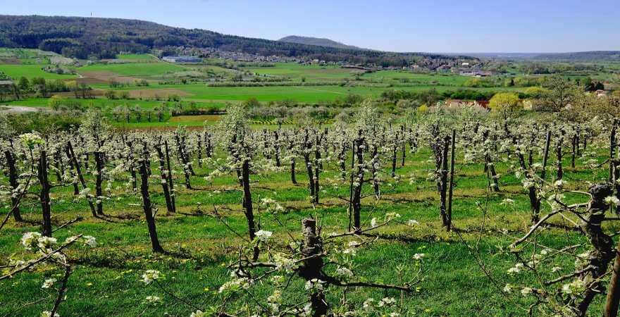 Kirschbaumblüte in der Fränkischen Schweiz bei Pretzfeld
