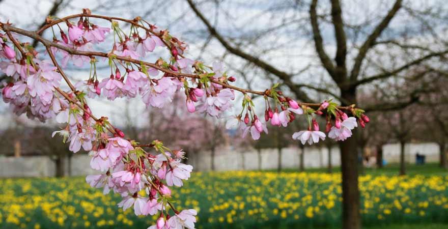 Kirschblüte in Schwetzingen