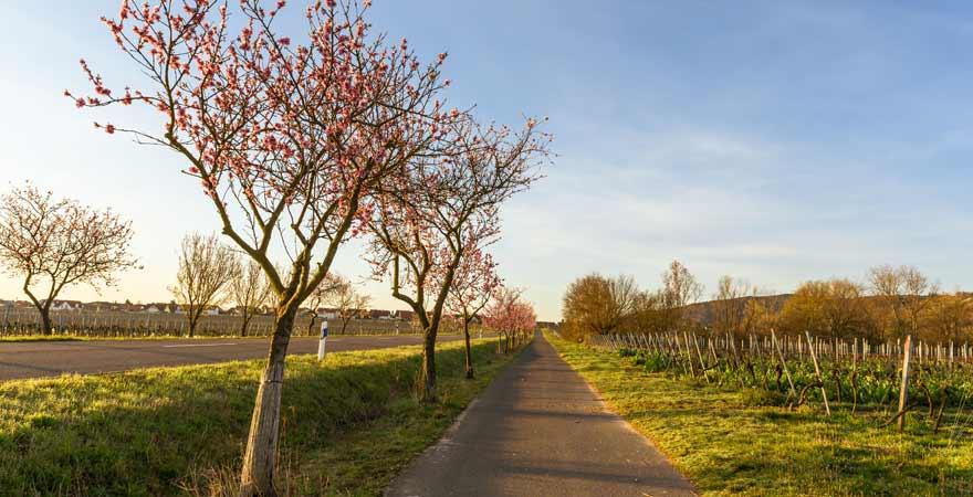 Mandelblüte entlang der Weinstraße