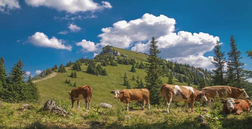 Kühe in den bayrischen Alpen