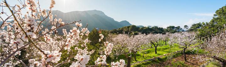Urlaub Mallorca Mandelblüte Bunyola